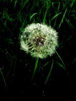 Dandelion Seed Head on Black