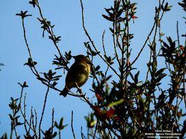 Hedge growth  bird