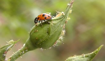 Eat an Aphid