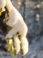 Spruce branch with a snow cap and some sunlight