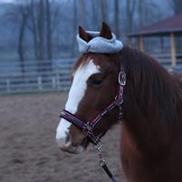 Brown blaze horse with a headband