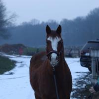 Blaze head horse portrait