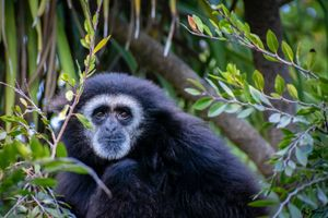 Gibbon looking off in the distance