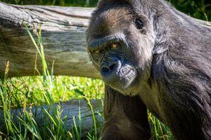 Gorilla looking at camera
