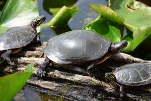 Painted Turtles in a marsh
