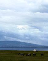 A tourist van parks next to a herd of impala at Nakuru National Park