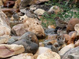Tree sparrows, bathing