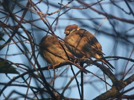 Pair of Eurasian tree sparrows