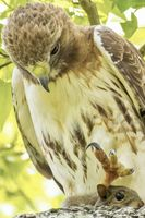 The Red-tailed Hawk Hunt