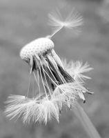 Nearly naked dandelion