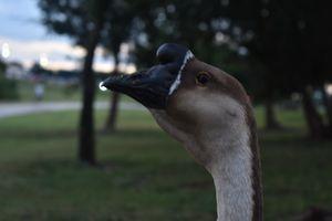 Close up goose