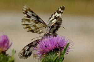Butterfles flower pollinate.