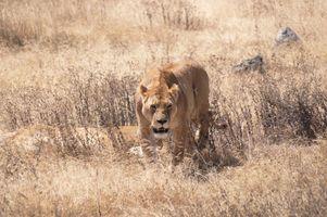 Lioness ion animal mammal big cat.