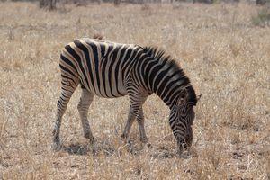 Zebra animal safari mammal.