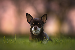Frenchie Puppy portrait