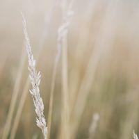 Wheat plant portrait