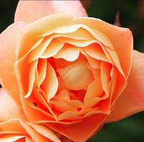 Orange rose with ant inside