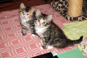 View-animal-cute-pet-portrait-kitten-cat-mammal-closeup-striped-pets-family-cats-eyes-whiskers-grey-animals-little-vertebrate-darling-views-kittens-cat-eyes-surprise-maine-coon-cat's-eye-norwegian-forest-cat-europea