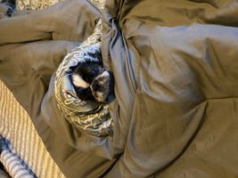 Rocky Wrapped in Blankets