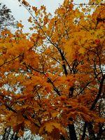 Maple Tree Closeup
