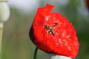 Bee collecting pollen from a Poppy