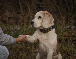 Labrador Retriever shaking hands with his owner