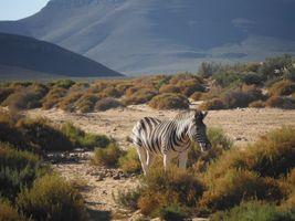 Zebra Safari South africa