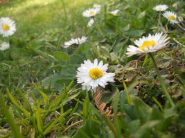 Some daisies - alcune margherite