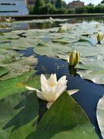 Ninfea a fiore bianco