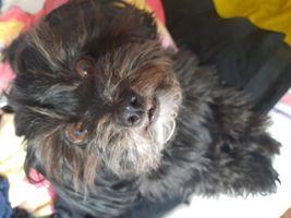 Havanese dog, Blacky suprised