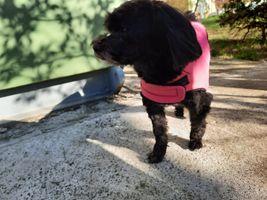 Havanese dog, pink clothes