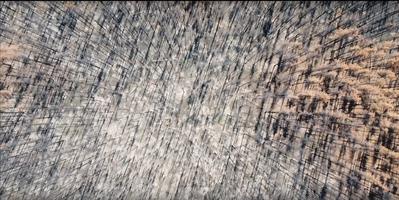 Burned pine forest