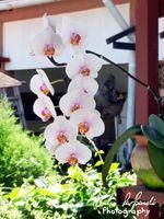 A Phalaenopsis inflorescence