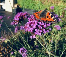 My Flowers (butterfly)