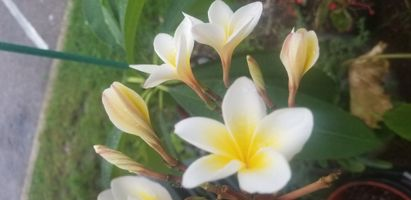 Creamy yellow flowered Plumeria