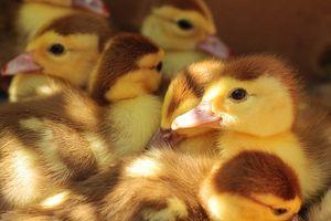 Adorable ducklings