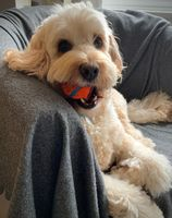Bertie the cockapoo puppy ready for a game of ball