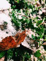 Snow on Autumn leafs