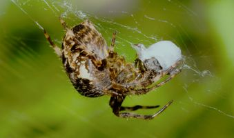 Spider eating a fly