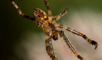 Upside down thin spider