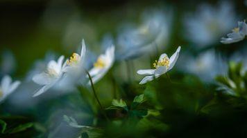 Wood anemone II