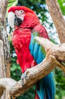 Parakeet with red and blue plumage on a wooden trunk with a blurred background vegetation