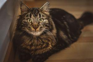Brown Cat, big eyes