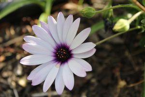 Gradient daisy