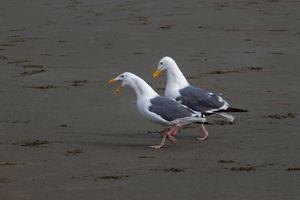 Seagulls Talking