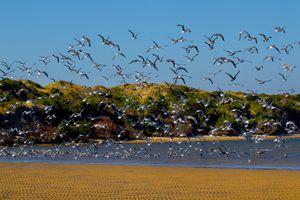 Massive Seagull Flock Takes Flight