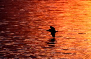 Pelican Flying at Sunset