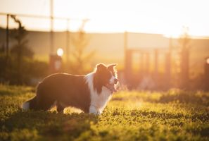Sunset with a Border Collie