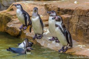 Friendly Group of Penguins