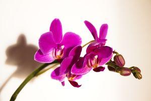 Orchidea flowering
